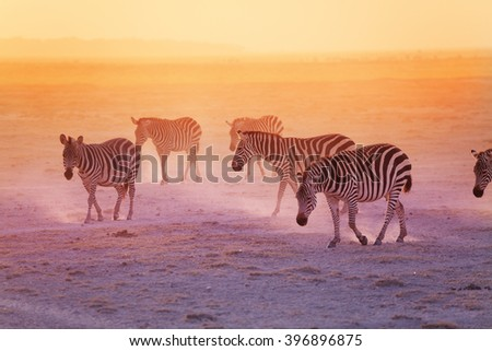 Group of zebras in the Amboseli National Park - stock photo