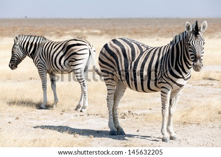 group of zebras in the national park of Namibia