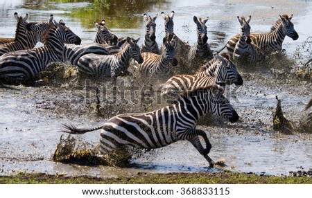 Group of zebras running across the water. Kenya. Tanzania. National Park. Serengeti. Maasai Mara. An excellent illustration.