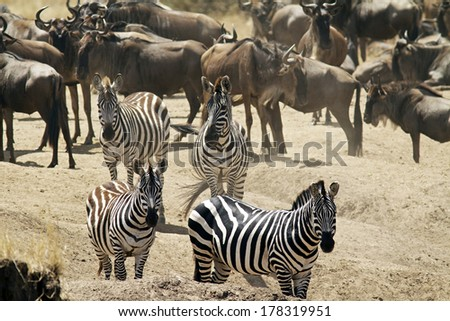 Group of zebras with a herd of wildebeests in the background on the Masai Mara in Kenya. - stock photo