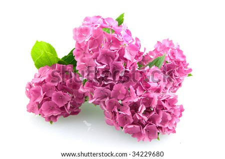 Group pink hortensia isolated on white background - stock photo