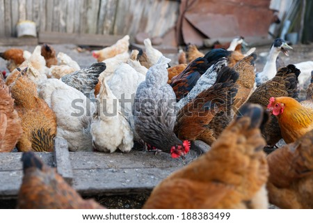 Group poultry chicken farm closeup
