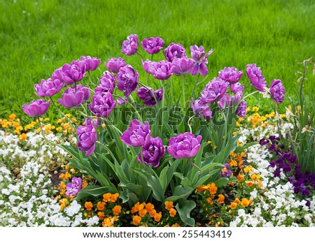 Group purple tulips and other flowers. Spring landscape. - stock photo