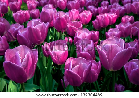 Group purple tulips. Spring landscape. - stock photo