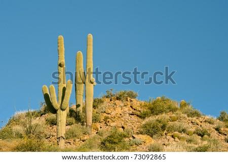 group saguaro cacti on hilltop against clear blue arizona sky - stock photo