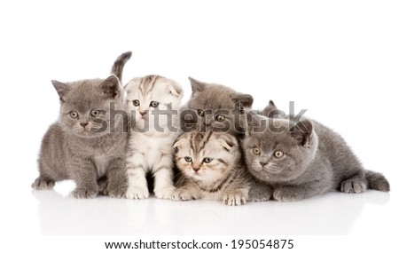 group scottish and british shorthair kittens. isolated on white background - stock photo