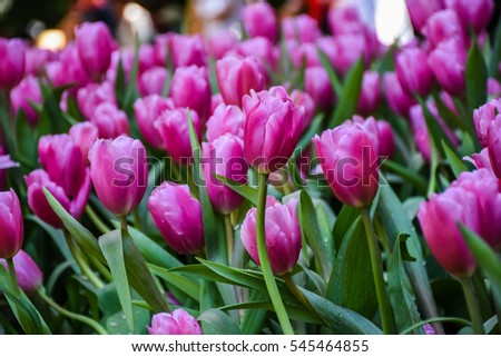 Group short beautiful purple tulips -Spring landscape in the garden with vertical and horizontal picture