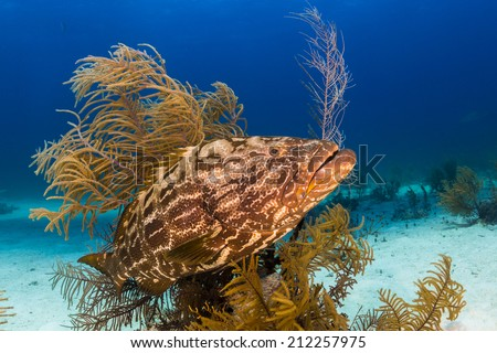 Grouper in the Bahamas - stock photo