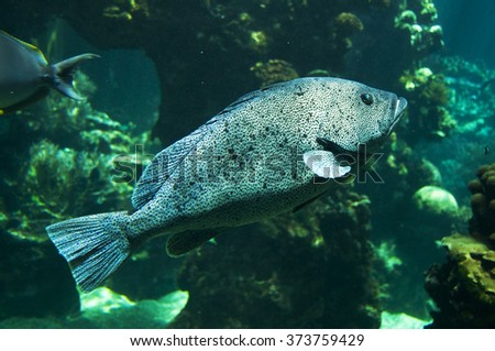 Grouper underwater close-up - stock photo