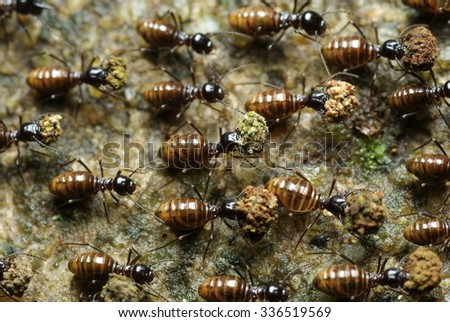 Groups Of Ants Carrying Small Rocks - stock photo