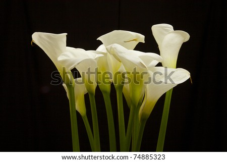 Groups of Cala lily