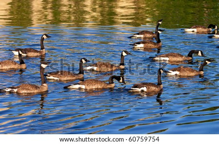 Groups of canadian goose swimming in a lake - stock photo