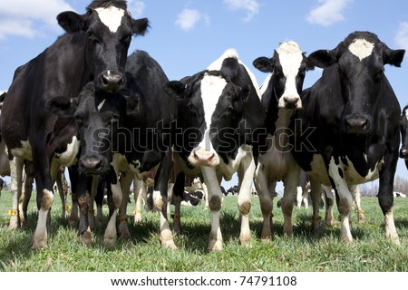 Groups of curious cows coming in for a close-up. - stock photo