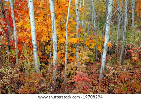 Grove of aspen trees and maples in autumn. - stock photo