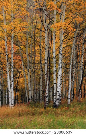 Grove of autumn aspen trees - stock photo