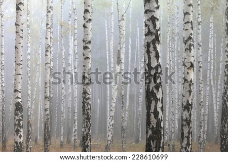 Grove of birch trees and dry grass in early autumn - stock photo