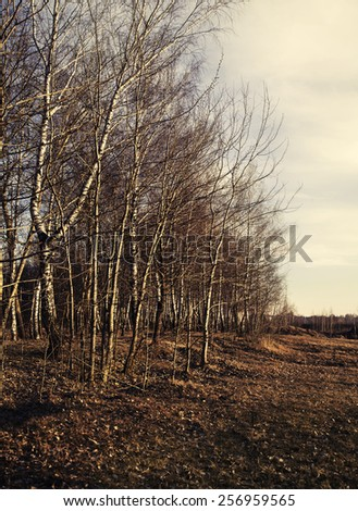 Grove of birch trees and dry grass in early spring, blue sky nature landscape - stock photo