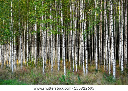 Grove of  birch trees in bright sunshine in late summer - stock photo