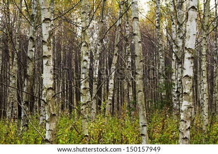 Grove of birch trees in fall color - stock photo