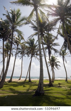 grove of coconut trees by caribbean sea big corn island nicaragua - stock photo