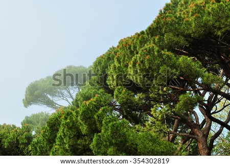 Grove of Italian pines, growing in Alupka Park - monument of landscape art, Crimea, Alupka, in foggy early morning