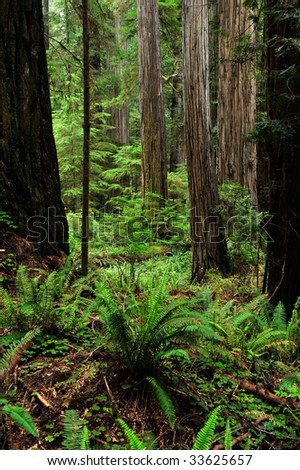 grove of large redwood trees with ferns in the foreground