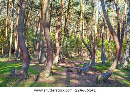 Grove of oddly shaped pine trees in Crooked Forest, Poland. - stock photo