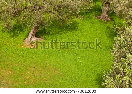 Grove of olive trees (Olea europaea) with dense cover of clover on the ground. - stock photo