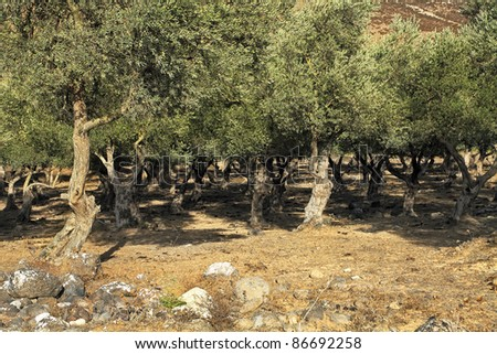 Grove of the ancient olive trees in Judea Hills (Israel) - stock photo