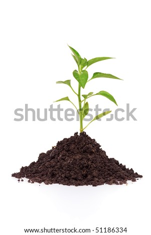 Growing a pepper plant in soil isolated on white background - stock photo