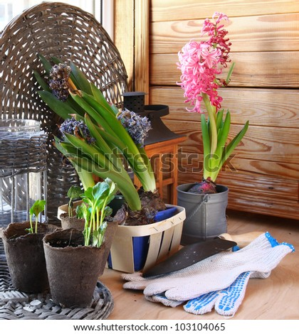 Growing and flowering of balcony. Seedlings for hobby gardening - stock photo