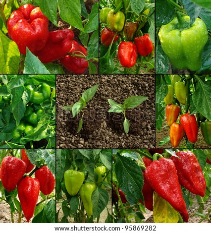 growing and ripening peppers - stock photo