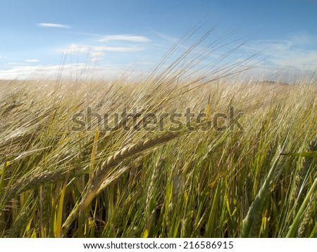 Growing barley blowing in the wind - stock photo