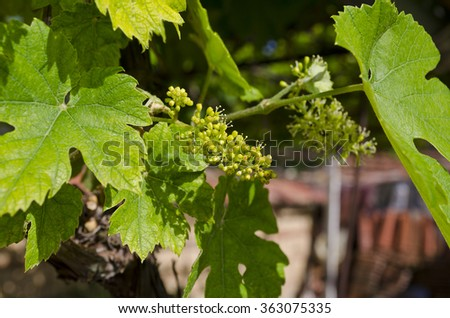 Growing bio grapes in the northern Bulgaria in the summer - stock photo