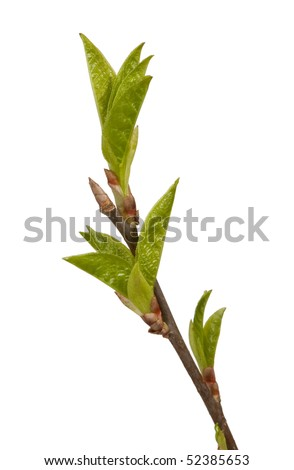 Growing birch branches, the buds. Closeup. - stock photo