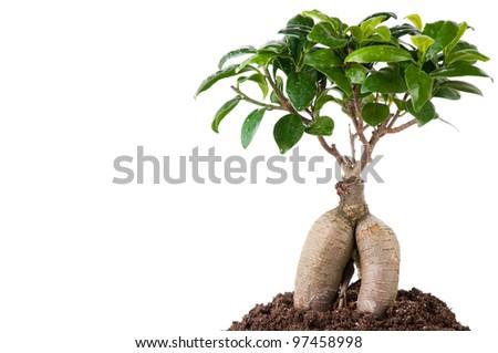 Growing bonsai tree in soil, white background, copyspace - stock photo