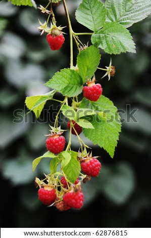 Growing branch of red raspberry - stock photo