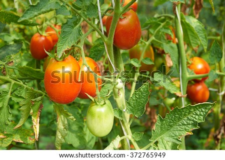 Growing branch of red tomato on vegetable garden