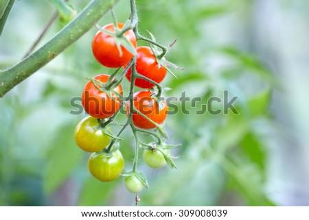 growing cherry tomatoes  - stock photo