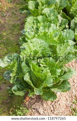 growing chinese cabbage in the field - stock photo