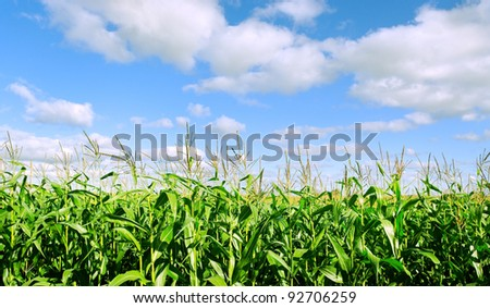 Growing corn on a field. - stock photo