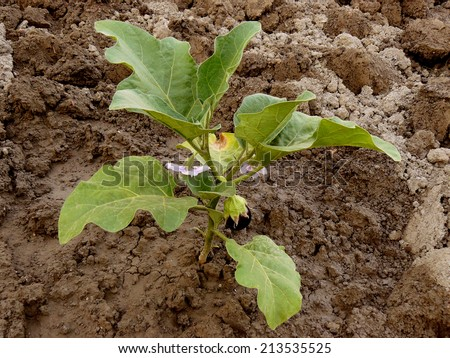 growing eggplant with first fruit - stock photo