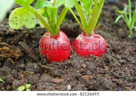 Growing fresh red radish on garden bed - stock photo