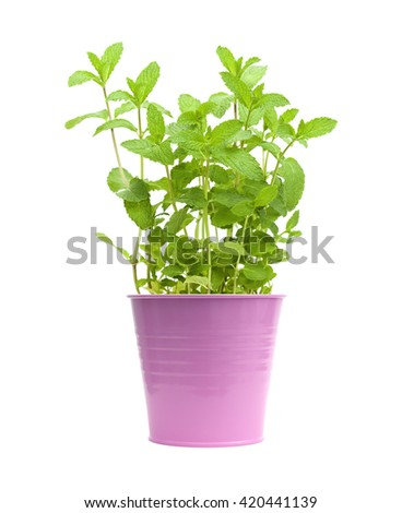 growing garden  mint plants isolted on white - stock photo
