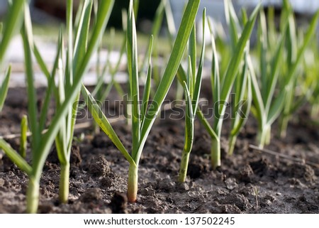 Growing garlic in plant.  farm vegetable  - stock photo