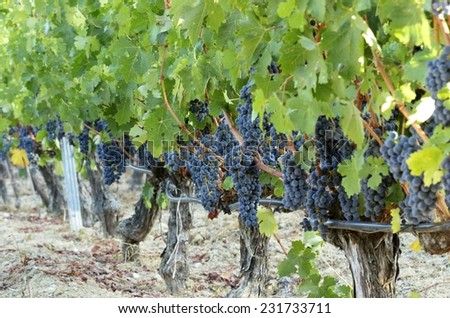 Growing grape vines for wine making. - stock photo