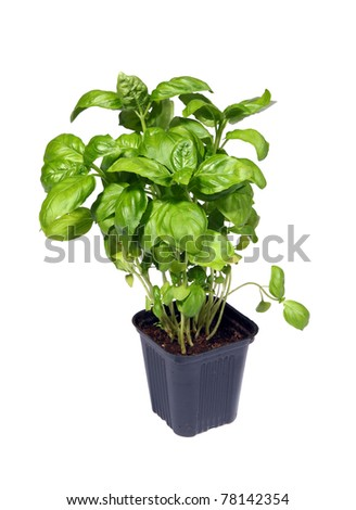 Growing green basil plants in pot isolated on white