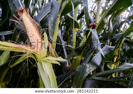 Growing Green Corn Field Culture in North Italy - stock photo