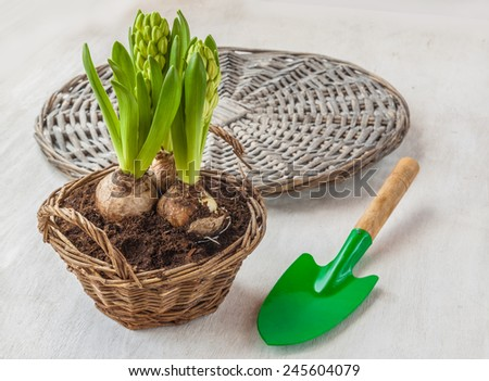 Growing hyacinths in a basket and garden shovel - stock photo