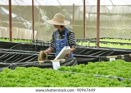 growing hydrophonic vegetable - stock photo